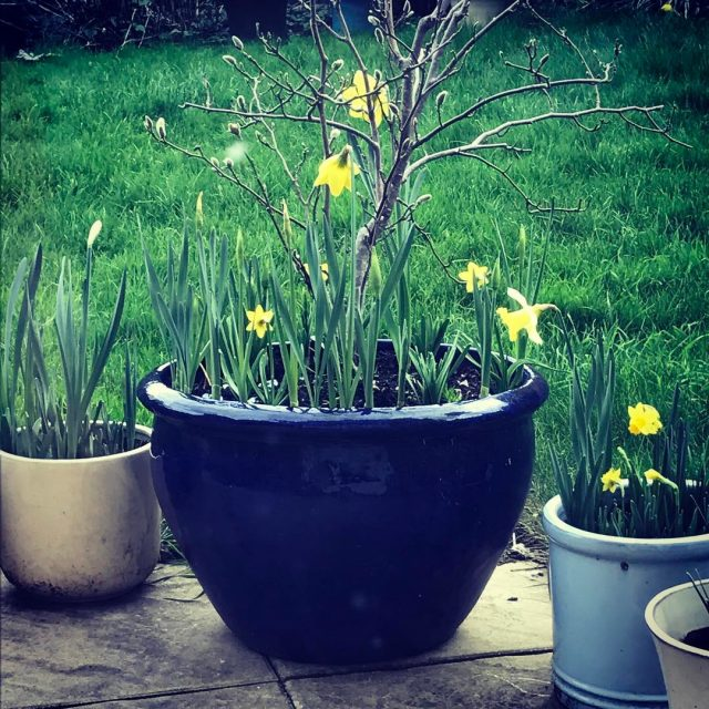 This year minimoobear planted up pots and pot of daffodilshellip