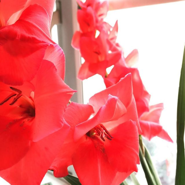 Gladioli are my new favourite flower These are from thehellip