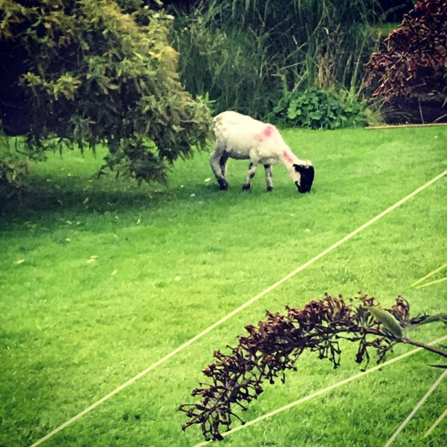 A sheep in the garden was a new experience lovedartmoor